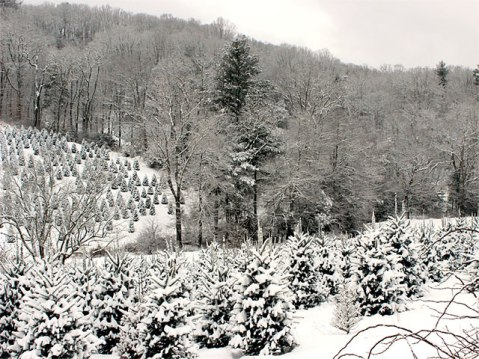A Fraser fir farm in Watauga County. Image from the Watauga County Christmas Tree Association.