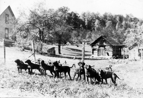 Plott hounds on the Plott family farm in Haywood County. Image the State Archives.