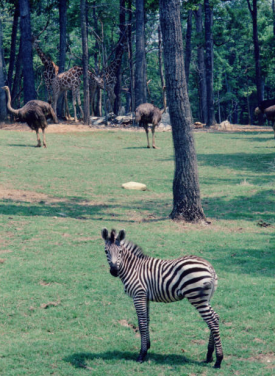 Zebra, giraffes and ostriches at North Carolina Zoo. Image from the North Carolina Collection at UNC-Chapel Hill.