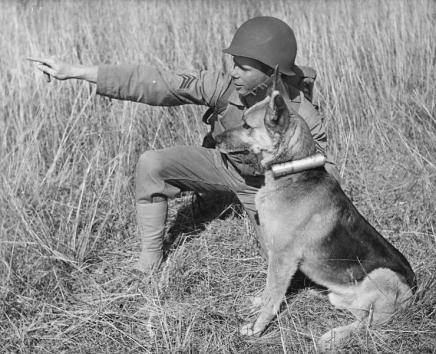 A German Shepard is trained to carry messages at Camp Lejeune during World War II. Image from the N.C. Museum of History