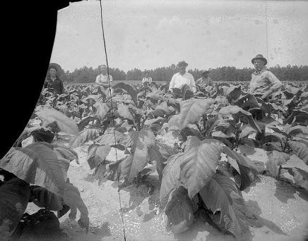 A group harvesting tobacco in a Harnett County during the Great Depression