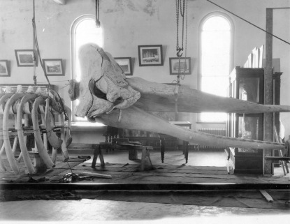 A whale skeleton during assembly at the N.C. Museum of Natural Sciences circa 1900-1920.