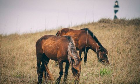 Wild horses on the Shackleford Banks. Image from Zach Frailey.