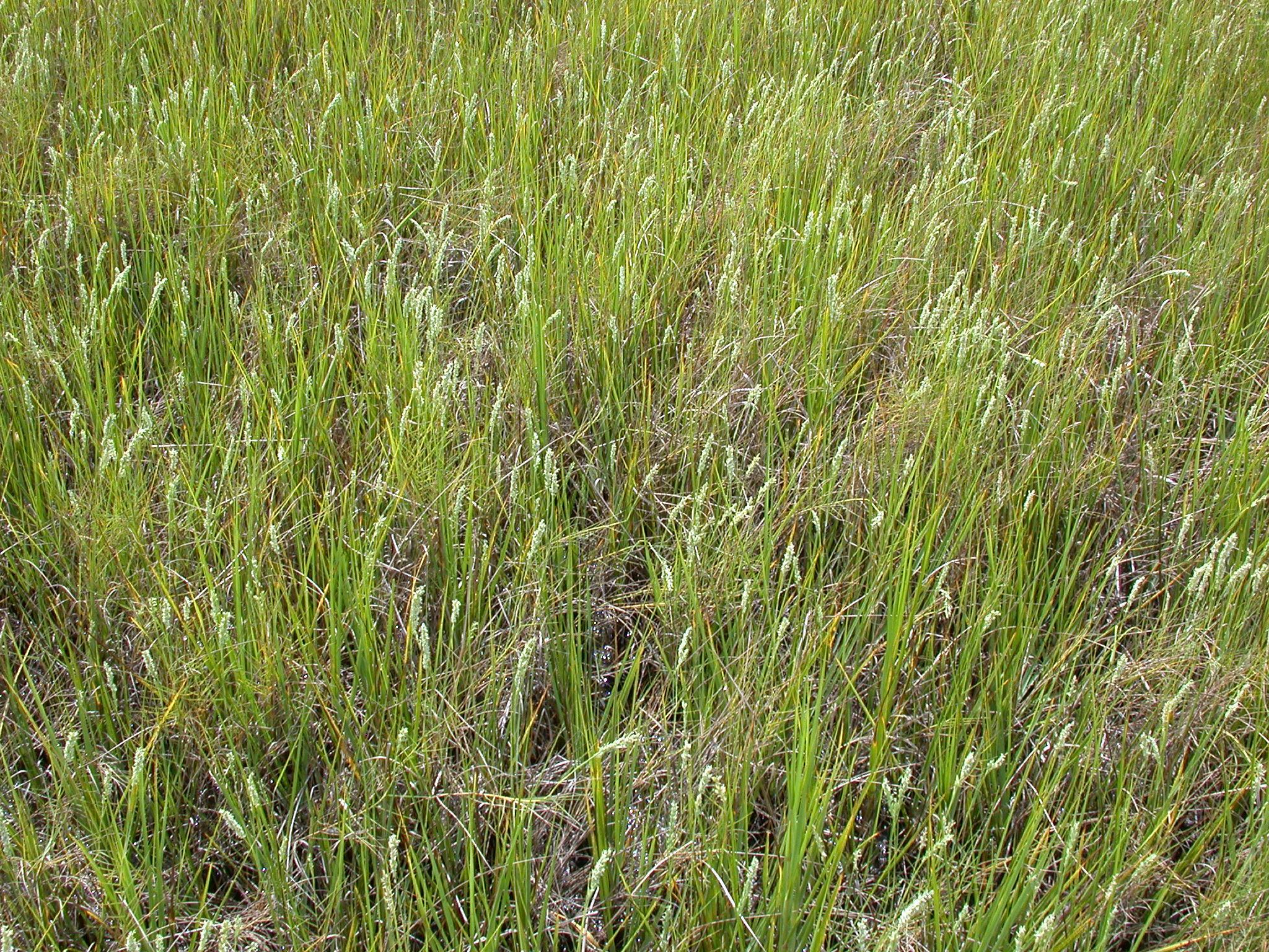 Salt (or Spike) Grass