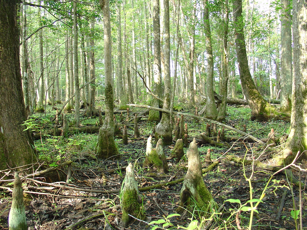 Image result for coastal forested swamp