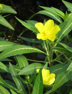 Picture of a Creeping Water Primrose (Ludwigia grandiflora) plant