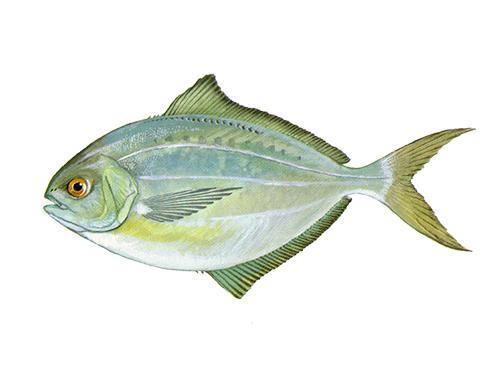 Butterfish - Peprilus triacanthus