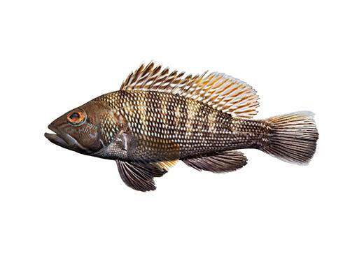 Black Sea Bass - Centropristis striata