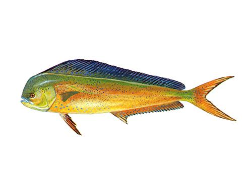 Dolphinfish - Corypaena hippurus