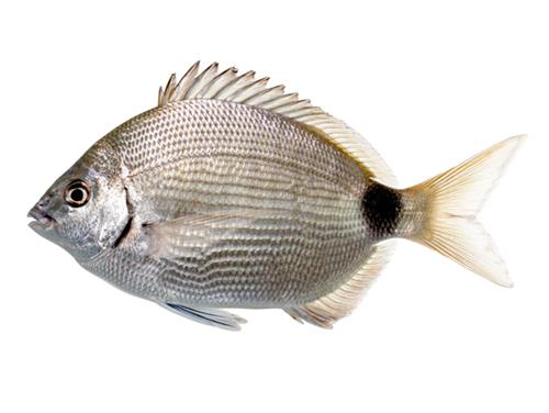 Spottail Pinfish - Diplodus holbrookii