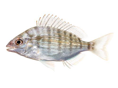 Pinfish - Lagodon rhomboides