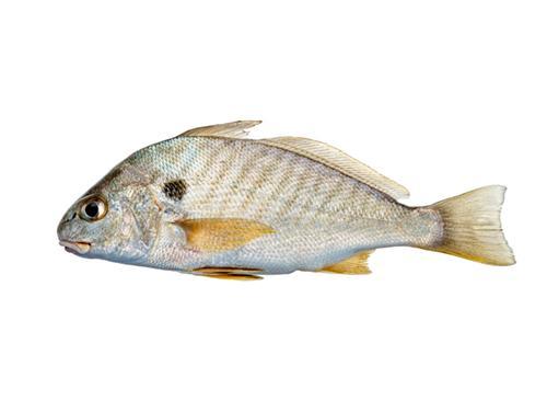 Spot - Leiostomus xanthurus