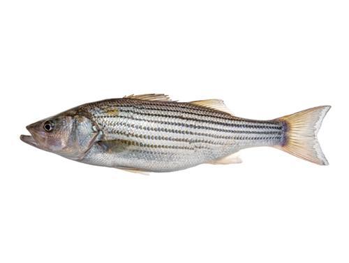 Striped Bass - Morone saxitilis