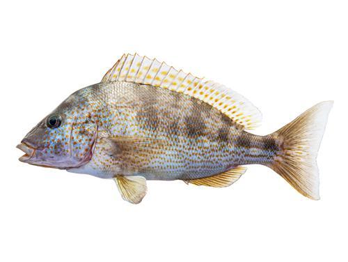 Pigfish - Orthopristis chrysoptera