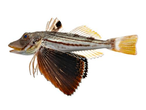 Striped Searobin - Prionotus evolans