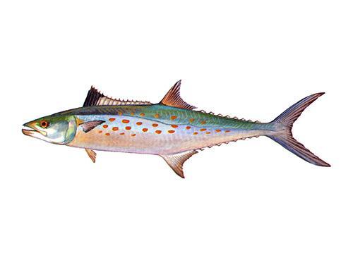 Spanish Mackerel - Scomberomorus maculatus