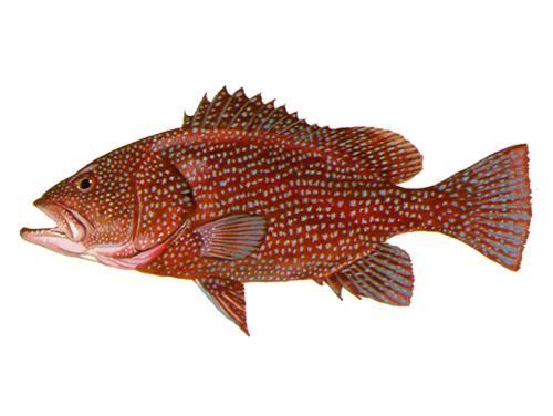 Speckled Hind - Epinephelus drummondhayi