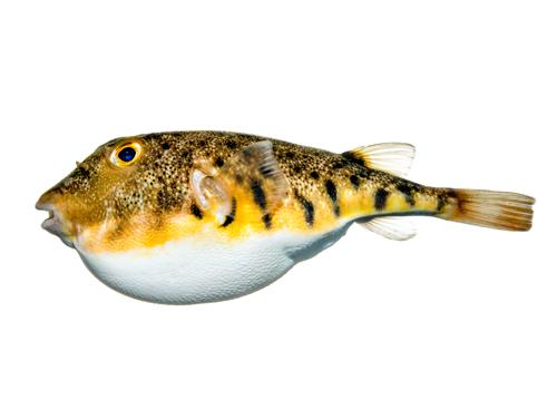 Northern Puffer - Sphoeroides maculatus