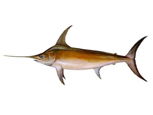 Swordfish - Xiphias gladius