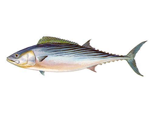 Atlantic Bonito - Sarda sarda