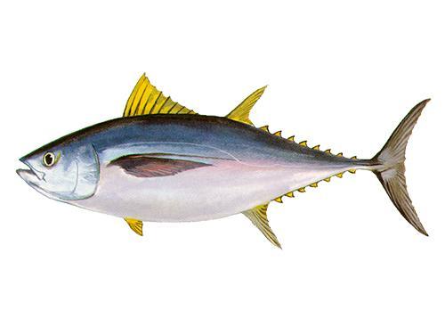 Bigeye Tuna - Thunnus obesus