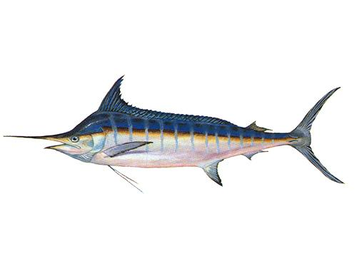 Blue Marlin - Makaira nigricans