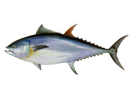Bluefin Tuna - Thunnus thynnus