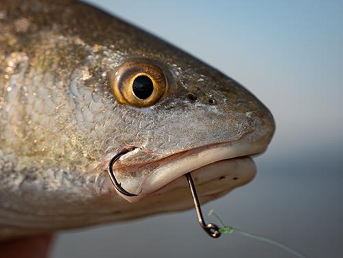 red drum caught with a circle hook