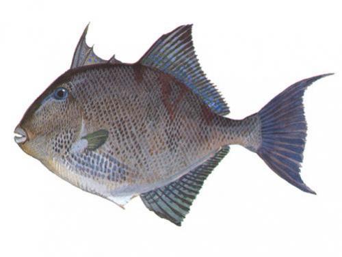 Gray Triggerfish - Balistes capriscus