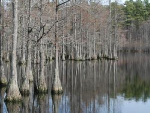 Cypress trees in pond