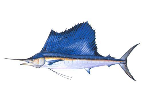 Sailfish - Istiophorus platypterus