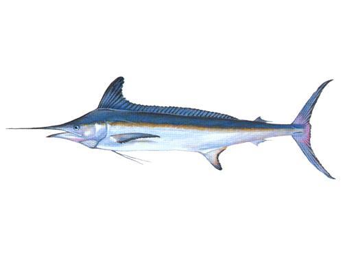 White Marlin - Kajikia albida