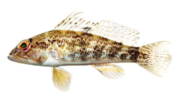Rock Sea Bass - Centropristis philadelphica