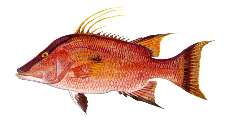 Hogfish - Lachnolaimus maximus
