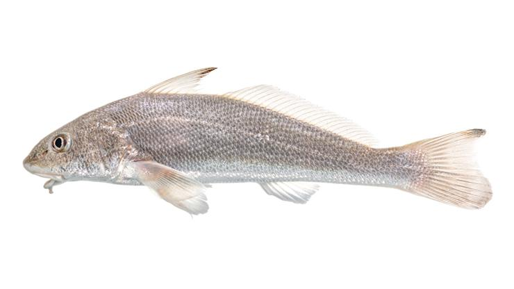 Kingfishes