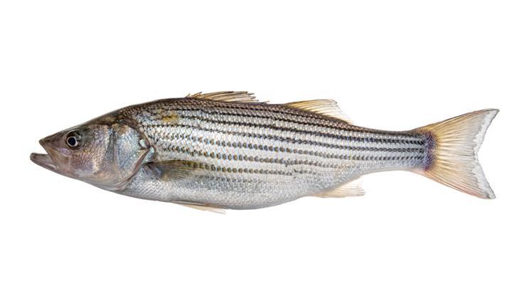 Striped Bass - Morone saxatilis