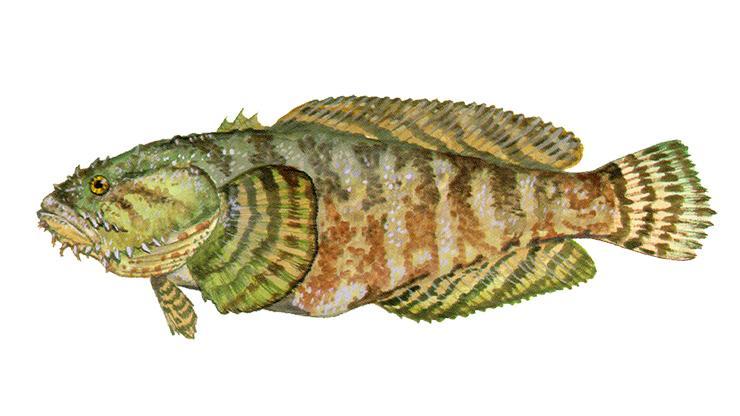 Oyster Toadfish - Opsanus tau
