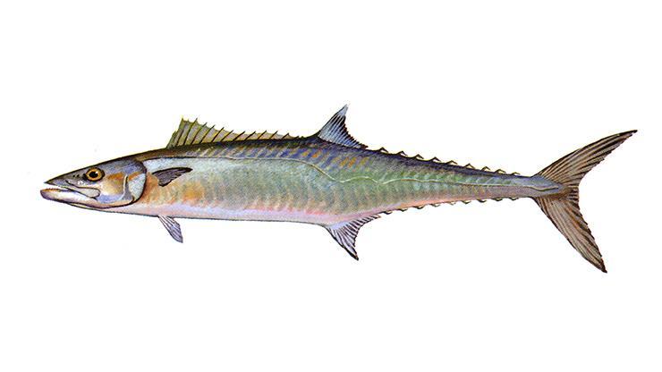 King Mackerel - Scomberomorus cavalla