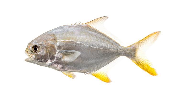 Florida Pompano - Trachinotus carolinus