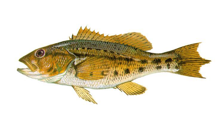 Bank Sea Bass - Centropristis ocyurus