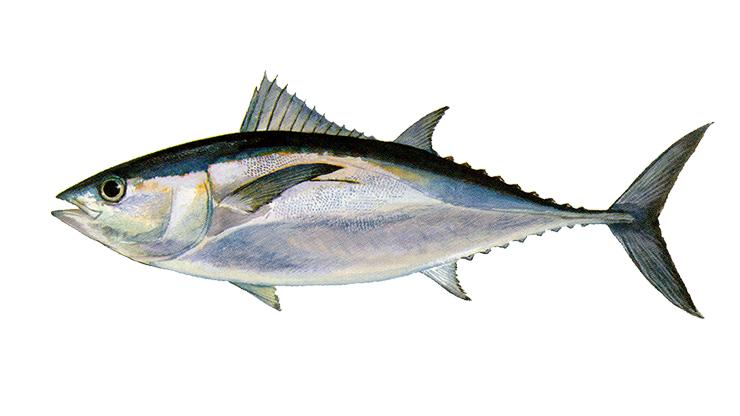 Blackfin Tuna - Thunnus atlanticus