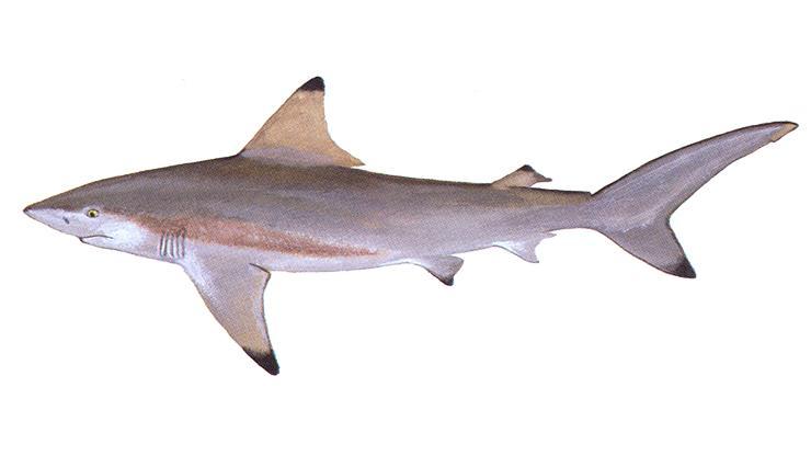 Blacktip Shark - Carcharhinus limbatus