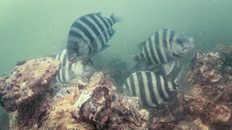 Sheepshead using an Oyster Sanctuary