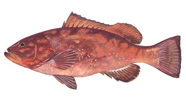 Red Grouper - Epinephelus morio