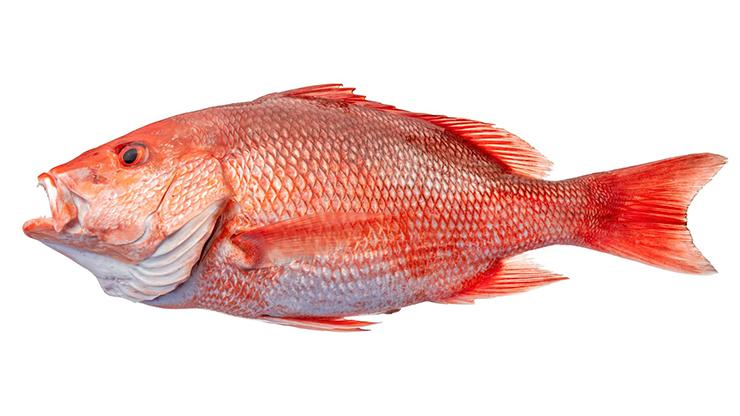 Red Snapper - Lutjanus campechanus