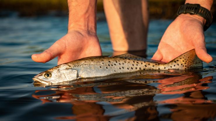 Releasing a Spotted Seatrout