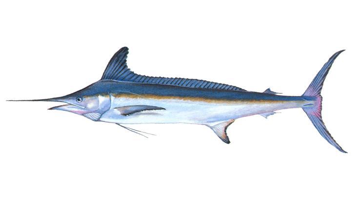 White Marlin - Tetrapturus albidus