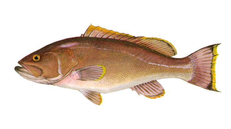 Yellowedge Grouper - Hyporthodus flavolimbatus