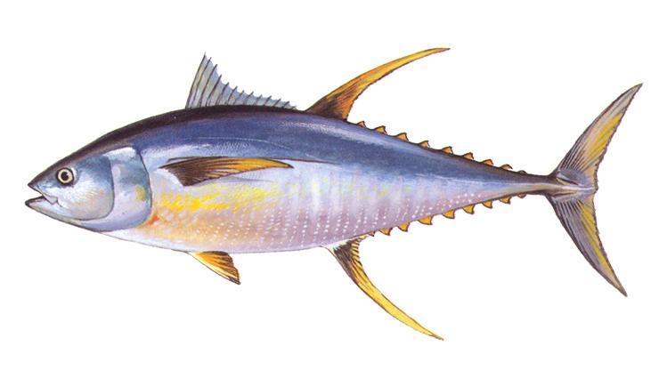 Yellowfin Tuna - Thunnus albacares