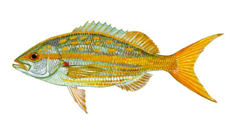 Yellowtail Snapper - Ocyurus chrysurus